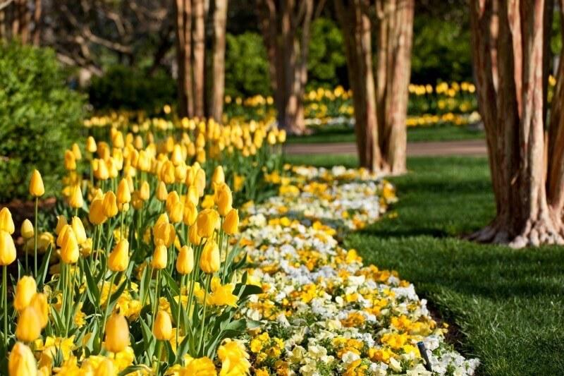 Cheekwood_SBGuide_yellow tulips_4-14