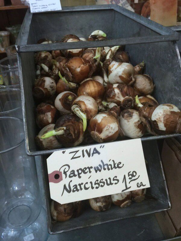Paperwhite bulbs from Yarrow Acres