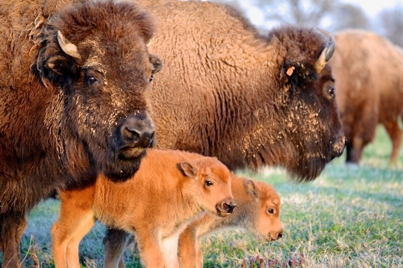Former mayor Bill Morris originally brought the buffalos to Shelby Farms Park to give the community access to living history. Decades later, they remain the icon of The Park.