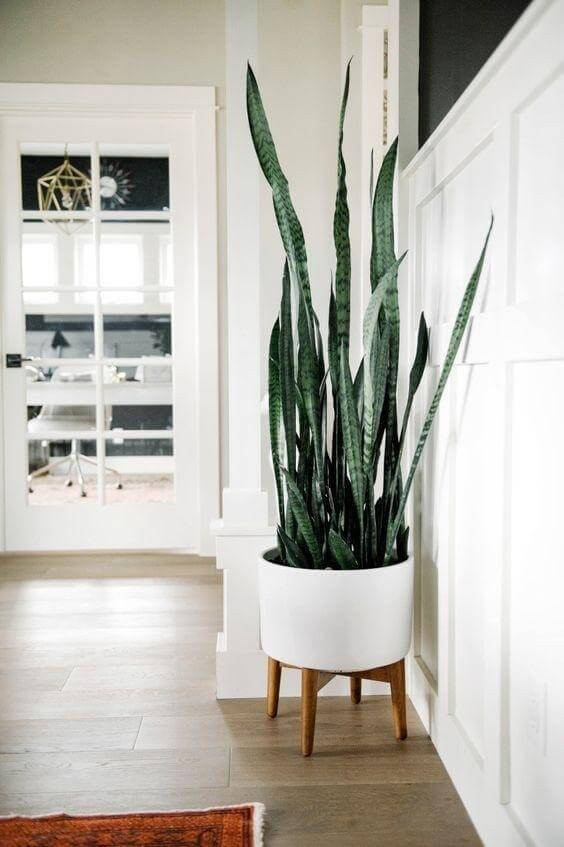Snake plant in a white planter interior design with plants