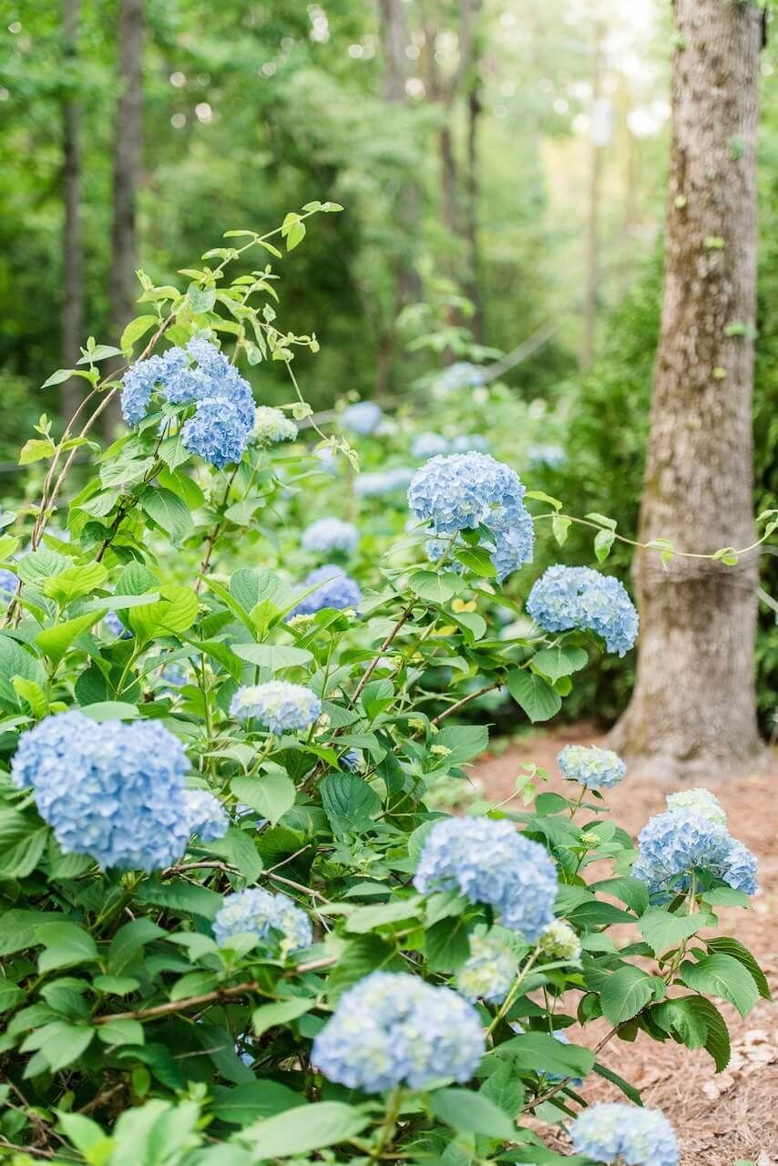 Clarke left the wild hydrangeas growing on the property, which have wild Autumn clamatis growing through them for a beautifully wild and natural look.