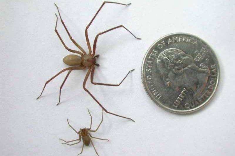 What You Need To Know About Brown Recluse Spiders