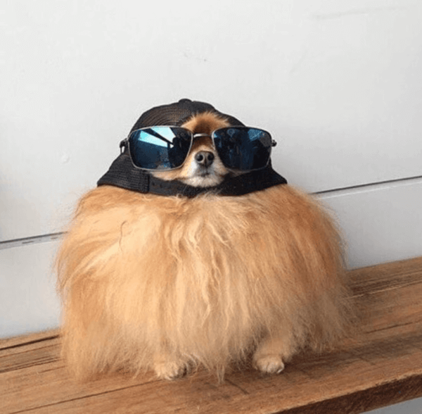 Round dog in hat and sunglasses